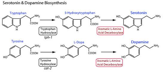 dopamin ve serotonin zellikleri ve faydalar